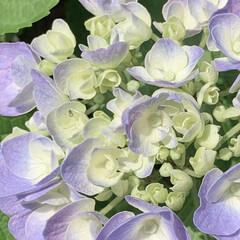 アジサイ/紫陽花/植物写真/街路樹 おはようございます🧸☀️ 今日はよく晴れ…