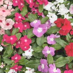 おでかけ/花壇/花が好き/植物写真 おはようございます🧸☔️  しばらく雨が…(1枚目)