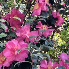 ご近所散歩/山茶花/サザンカ/植物写真/花が好き こんにちは🧸☀️ 今日は少し暖かく気持ち…