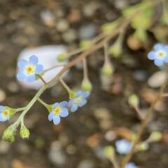 小花/雑草/胡瓜草/植物写真/散歩 植物の写真が続きます。スミマセン😓  🌱…