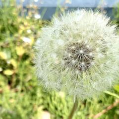 春/綿毛/タンポポ/植物写真 おはようございます🧸☀️  ぽつんと咲い…
