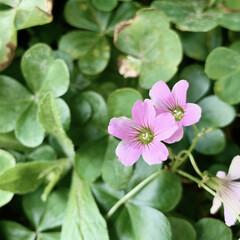 ムラサキカタバミ/雑草/植物写真/花のある暮らし/緑のある暮らし 同居人さんの勤務形態が定まらず、 すっか…