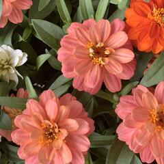 ジニア/百日草/ヒャクニチソウ/花が好き/植物写真 おはようございます🧸🔆  今日のお花はヒ…(1枚目)
