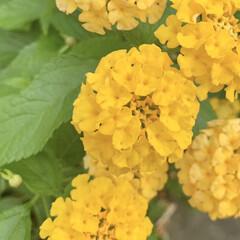 ランタナ/花が好き/植物写真 おはようございます🧸🔆  昨夜はピカピカ…(1枚目)