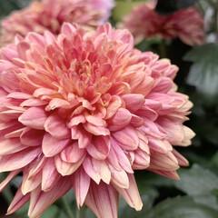 菊/キク/花が好き/植物写真 おはようございます🧸🔆  9月に入ってか…(1枚目)