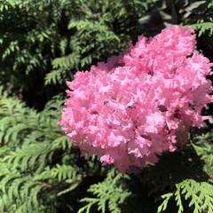百日紅/サルスベリ/ピンク/花が好き/植物写真 おはようございます🧸🔆  今日も暑くなり…(2枚目)