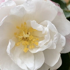 花が好き/山茶花/サザンカ/植物写真 こんにちは🧸☀️  今日は晴れ間もみえて…