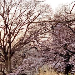 ピンク/夕焼け/桜/おでかけ 今年はお花見できず、昨年の写真ですが。 …