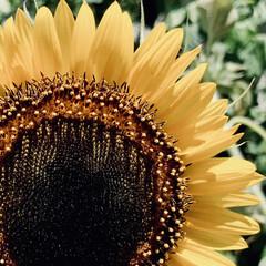 咲きました/ヒマワリ/植物写真/花が好き/花 おはようございます🧸🌼  この間見つけた…