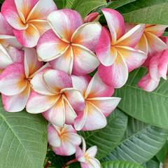 夏/プルメリア/花が好き/植物写真/花 こんにちは🧸☀️  夏の花のイメージのプ…(1枚目)