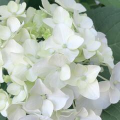 アジサイ/紫陽花/植物写真/暮らし/花が好き おはようございます🧸☁️ 久しぶりにLI…