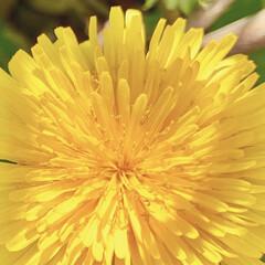タンポポ/ビタミンカラー/花のある暮らし/植物写真 やっと近所でもタンポポが咲きはじめました…