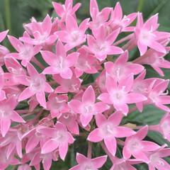 ピンク/ペンタス/花が好き/植物写真/花 おはようございます🧸☀️  今日は久々に…
