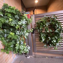 アイビーリース/リース/アイビー/観葉植物/玄関のアイビー/住まい/... 東の光が当たるので門扉のアイビーがよく育…(1枚目)