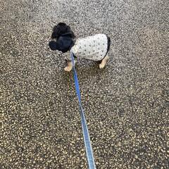 犬用レインコート/レインコート/ディズニー/ディズニーファッション/ミッキーマウス/シニア犬/... 雨が降ると、お外に行く時ミッキーさんにな…(4枚目)