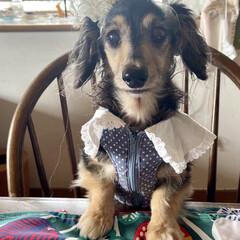 誕生日犬/シニアドッグ/カニンヘンダックスフンド/カニンヘン/いぬ/犬派/... 10月18日にうちのマリーが13歳になり…(2枚目)