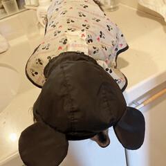 犬用レインコート/レインコート/ディズニー/ディズニーファッション/ミッキーマウス/シニア犬/... 雨が降ると、お外に行く時ミッキーさんにな…(2枚目)