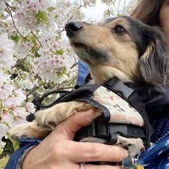 桜/ダックスフンド/カニンヘン/LIMIAペット同好会/カニンヘンダックスフンド/お花見/... お散歩がてら、もう一回お花見しました。 …