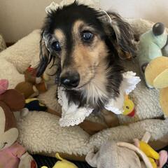 誕生日犬/シニアドッグ/カニンヘンダックスフンド/カニンヘン/いぬ/犬派/... 10月18日にうちのマリーが13歳になり…(3枚目)