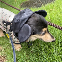 犬用レインコート/レインコート/ディズニー/ディズニーファッション/ミッキーマウス/シニア犬/... 雨が降ると、お外に行く時ミッキーさんにな…(3枚目)