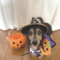 ハロウィン犬/犬帽/いぬ/犬服/ハロウィン/ダイソー/... Happy Halloween 🎃👿👻 …(2枚目)
