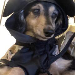 犬用レインコート/レインコート/ディズニー/ディズニーファッション/ミッキーマウス/シニア犬/... 雨が降ると、お外に行く時ミッキーさんにな…