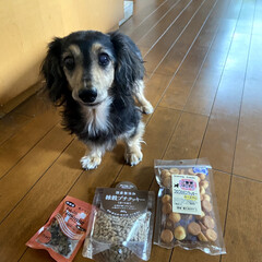 誕生日犬/シニアドッグ/カニンヘンダックスフンド/カニンヘン/いぬ/犬派/... 10月18日にうちのマリーが13歳になり…(5枚目)