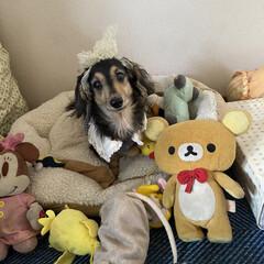 誕生日犬/シニアドッグ/カニンヘンダックスフンド/カニンヘン/いぬ/犬派/... 10月18日にうちのマリーが13歳になり…(1枚目)