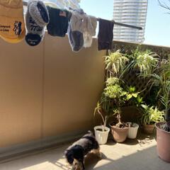 バルコニー/犬服/ベランダ/洗濯/衣替え/LIMIAペット同好会/... 衣替えのための洗濯 お犬様の分から🐶🚽🚰(1枚目)