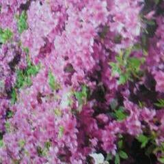 リミアの冬暮らし 素晴らしい花