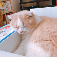 スコティッシュフォールド/ねこのいる暮らし/猫好き/猫多頭飼い/ネコ/ねこ/... 久しぶりの投稿です‼️ なぜかずっとアプ…