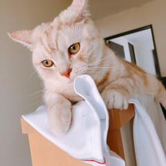 アメリカンショートヘア/虎吉/猫のいる暮らし/猫/家族/ねこ/... 今日も30度越え💦 ひんやり求めて、洗濯…