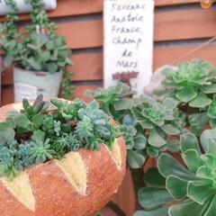 緑のある暮らし/ナチュラルガーデン/寄せ植え/多肉植物/プチプラガーデン/広島タニラー/... 今日の多肉パン🥖  いらっしゃいませ〜♬…