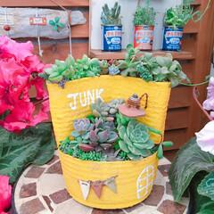 lovegreen/花のある暮らし/シクラメン/寄せ植え_華/Limia多肉倶楽部/limia多肉クラブ/... 今日の多肉ちゃん🌿  先日寄せ植えしたの…