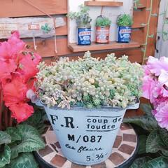 花のある暮らし/シクラメンの花/シクラメン/多肉植物/姫秋麗丼/姫秋麗/... 今日の多肉ちゃん🌿