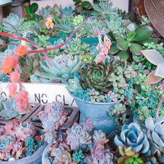 花のある暮らし/お花/プチプラガーデン/多肉植物/多肉中毒/寄せ植え_華/... 今日の多肉ちゃん🌿 花芽びよ〜ん😍可愛い…