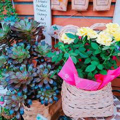 黒法師/多肉植物/ばら/バラ/薔薇/フォロー大歓迎/... 今日の薔薇🌹