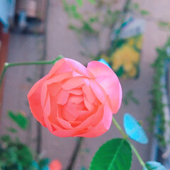 Rose/プチプラガーデニング部/ナチュラルガーデン/プチプラガーデン/寄せ植え_華/寄せ植え/... 今日の多肉ちゃん🌿&今日の薔薇🌹  鉢は…(4枚目)