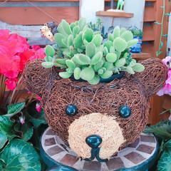 100均リメイク/多肉植物/シクラメン/クマさん/熊童子/寄せ植え/... 今日の多肉ちゃん🌿  熊童子を熊さん鉢に…