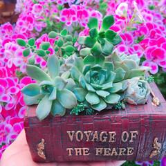 バラ/Rose/薔薇/limiaたにらー/limia多肉クラブ/Limia多肉倶楽部/... 今日の多肉ちゃん🌿&薔薇🌹
