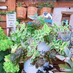 ガーデン雑貨/多肉/成長記録/緑のある暮らし/寄せ植え/ブロンズ姫/... 今日の多肉ちゃん🌿  1枚目、2枚目 本…