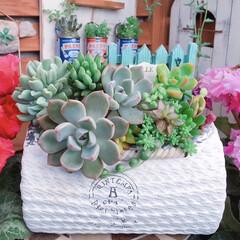 花のある暮らし/シクラメン/lovegreen/エケベリア/多肉植物/プチプラ/... 今日の多肉ちゃん🌿