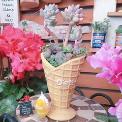 ナチュラルガーデン/寄せ植え/greenLife/花のある暮らし/プチプラガーデン/プチプラガーデニング部/... 今日の多肉ちゃん🌿  お待たせしました♬…