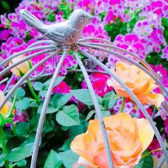 ナチュラルガーデン/プチプラガーデン/寄せ植え/手抜きランチ/今日のランチ/おうち時間を楽しもう/... 今日の多肉ちゃん🌿&今日の薔薇🌹&今日の…(2枚目)
