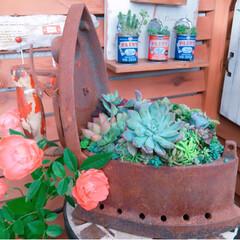 プチプラガーデン/プチプラガーデニング部/寄せ植え/アイロン寄せ/アンティーク/ナチュラルガーデン/... 今日の多肉ちゃん🌿  多肉植物の紅葉が楽…