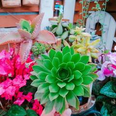植物のある生活/ナチュラルガーデン/シクラメン/頑張ろう日本/プチプラガーデン/多肉植物/... 3月29日のコンロ缶のサンシモンさん🌿カ…