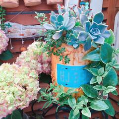 プチプラガーデン/ナチュラルガーデン/花のある暮らし/紫陽花/ベビーサンローズ/寄せ植え_華/... 今日の多肉ちゃん🌿  ベビーサンロー…
