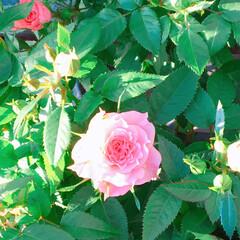 薔薇/薔薇のある暮らし/Limia多肉倶楽部/LIMIA多肉くらぶ/広島たにらー/広島タニラー/... 今日の多肉ちゃん🌿&今日の薔薇🌹(2枚目)
