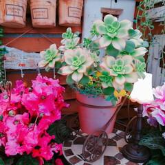 succulents/limiaたにらー/limia多肉クラブ/Limia多肉倶楽部/シクラメン/おうち時間を楽しもう/... 今日の多肉ちゃん🌿   日々コロナウイル…