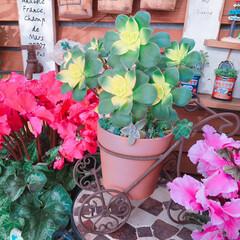 Flower/花のある暮らし/シクラメンの花/limiaタニラー/limiaたにらー/limia多肉クラブ/... 今日の多肉ちゃん🌿 キウイさん、色付いて…